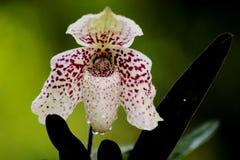 bellatulum paphiopedilum Στοκ εικόνες με δικαίωμα ελεύθερης χρήσης
