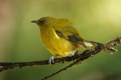 Bellbird - Anthornis melanura - makomako in Maori language, endemic bird - honeyeater from New Zealand in the green forest.  stock images