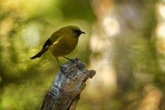 Bellbird - Anthornis melanura - makomako in Maori language, endemic bird - honeyeater from New Zealand in the green forest.  stock image
