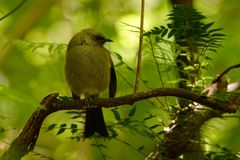 Bellbird - Anthornis melanura - makomako in Maori language, endemic bird - honeyeater from New Zealand in the green forest.  royalty free stock image
