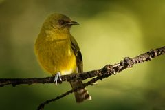 Bellbird - Anthornis melanura - makomako in Maori language, endemic bird - honeyeater from New Zealand in the green forest stock images