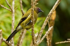 Bellbird - Anthornis melanura - makomako in Maori language, endemic bird - honeyeater from New Zealand in the green forest stock photo