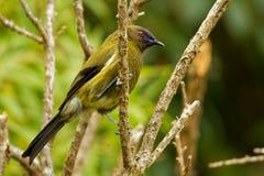 Bellbird - Anthornis melanura - makomako in Maori language, endemic bird - honeyeater from New Zealand in the green forest.  stock photo
