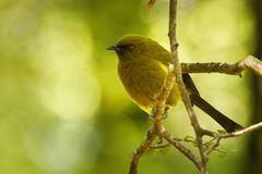 Bellbird - Anthornis melanura - makomako in Maori language, endemic bird - honeyeater from New Zealand in the green forest royalty free stock photos