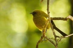 Bellbird - Anthornis melanura - makomako in Maori language, endemic bird - honeyeater from New Zealand in the green forest.  royalty free stock photos