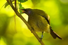 Bellbird - Anthornis melanura - makomako in Maori language, endemic bird - honeyeater from New Zealand in the green forest with lo. Lled-out tongue stock photo