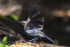Bellbird de la Nouvelle Zélande photos libres de droits