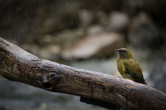 Bellbird Korimako in the Rain royalty free stock images