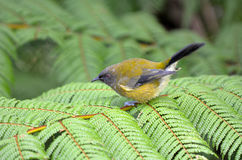 Bellbird (Korimako) stock photos