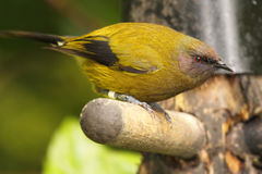Bellbird Leaning Down royalty free stock photo