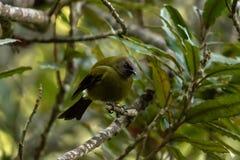 Bellbird masculino, floresta de Nova Zelândia fotografia de stock