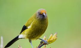 Bellbird in the wild royalty free stock image
