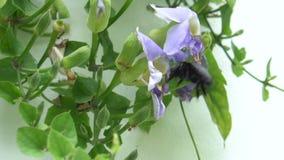 Belle abeille pollinisant l'orchidée pourpre banque de vidéos