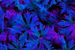 Belle abstraction de couleur au néon pourpre images libres de droits