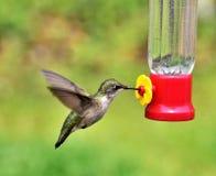 Belle ali del colibrì fotografie stock libere da diritti
