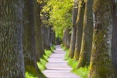 Belle allée de chêne avec le sentier piéton images libres de droits