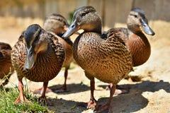 Belle anatre selvatiche allo stagno Fauna selvatica un giorno di estate soleggiato Giovane uccello acquatico immagini stock