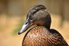 Belle anatre selvatiche allo stagno Fauna selvatica un giorno di estate soleggiato Giovane uccello acquatico immagini stock libere da diritti
