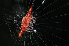 Belle araignée, globe-tisserand épineux photo stock