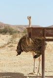 Belle autruche dans le désert image libre de droits