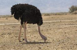 Belle autruche dans le désert Photos libres de droits
