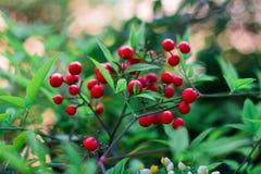 Belle bacche rosse contro un bokeh d'ardore Fotografie Stock