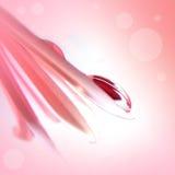 Belle baisse sur le gerbera rose Image stock