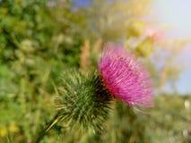 Belle bardane pourpre parmi l'herbe verte Photos libres de droits