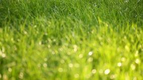Belle basse herbe de champ, long macro tir defocused, plante verte soufflant sur le vent avec la profondeur du champ, pré de ress banque de vidéos