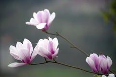 Belle belle orchidée chinoise de jade Photo libre de droits