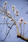 Belle belle orchidée chinoise de jade Image libre de droits