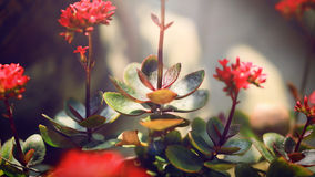 Belle belle usine rouge de soleil de coucher du soleil de fleur Photographie stock libre de droits