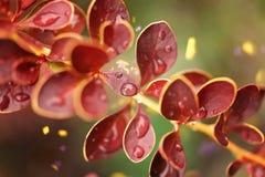 Belle branche avec des baisses de feuilles et de rosée de rouge Foyer mou avec Photographie stock libre de droits
