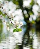 Belle branche de floraison au-dessus du plan rapproché de l'eau Photos libres de droits
