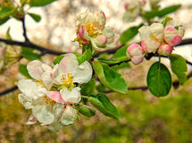 Belle branche de floraison de pommier Image libre de droits