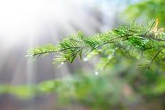 Belle branche de pin avec les baisses de l'eau et la toile d'araignée Photos libres de droits