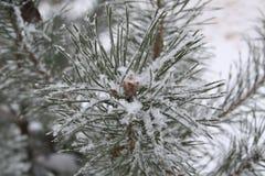 Belle branche de pin, comme une fleur et couvert de grand snowfla Images libres de droits