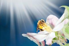 Belle branche de pommier de nature avec des rayons de fleurs, d'abeille et de soleil de bllom photographie stock