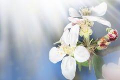 Belle branche de pommier de nature avec des rayons de fleurs, d'abeille et de soleil de bllom images stock
