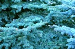 Belle branche de sapin bleu Photo stock