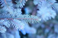 Belle branche de sapin bleu Photos stock