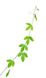 Belle branche verte de passiflore, maracuja avec des vrilles Photo stock
