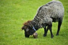 Belle brevi pecore grige che pascono erba Fotografie Stock Libere da Diritti