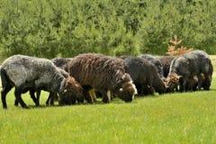 Belle brevi pecore grige che pascono erba Immagini Stock