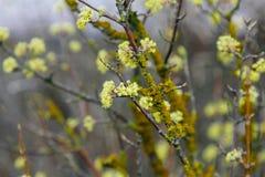 Belle brindille avec les fleurs jaunes lumineuses sur le fond vert naturel brouill? Macro fleurs de cerisier s?lectives molles de photo stock