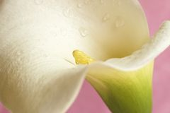 Belle calla lilly sur le rose image stock