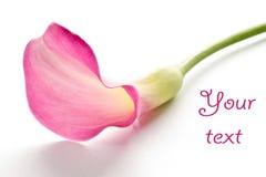 Belle calla rose Image stock