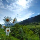 Belle camomille dans les Alpes Photo libre de droits