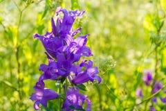 Belle campanule pourpre parmi l'herbe grande à la lumière du soleil Photographie stock libre de droits