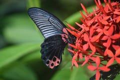 Belle capture d'un papillon de machaon d'écarlate sur des fleurs Photo libre de droits